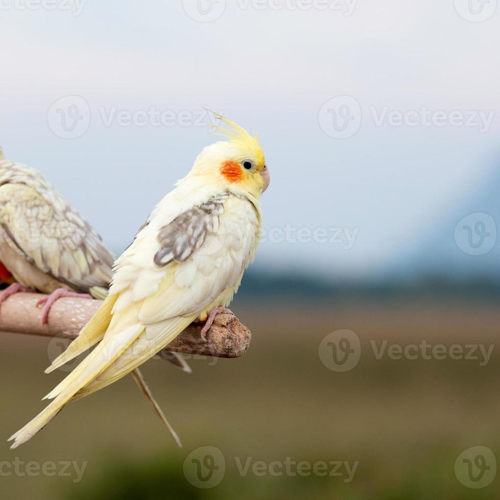 cacatúa loro, pájaro foto