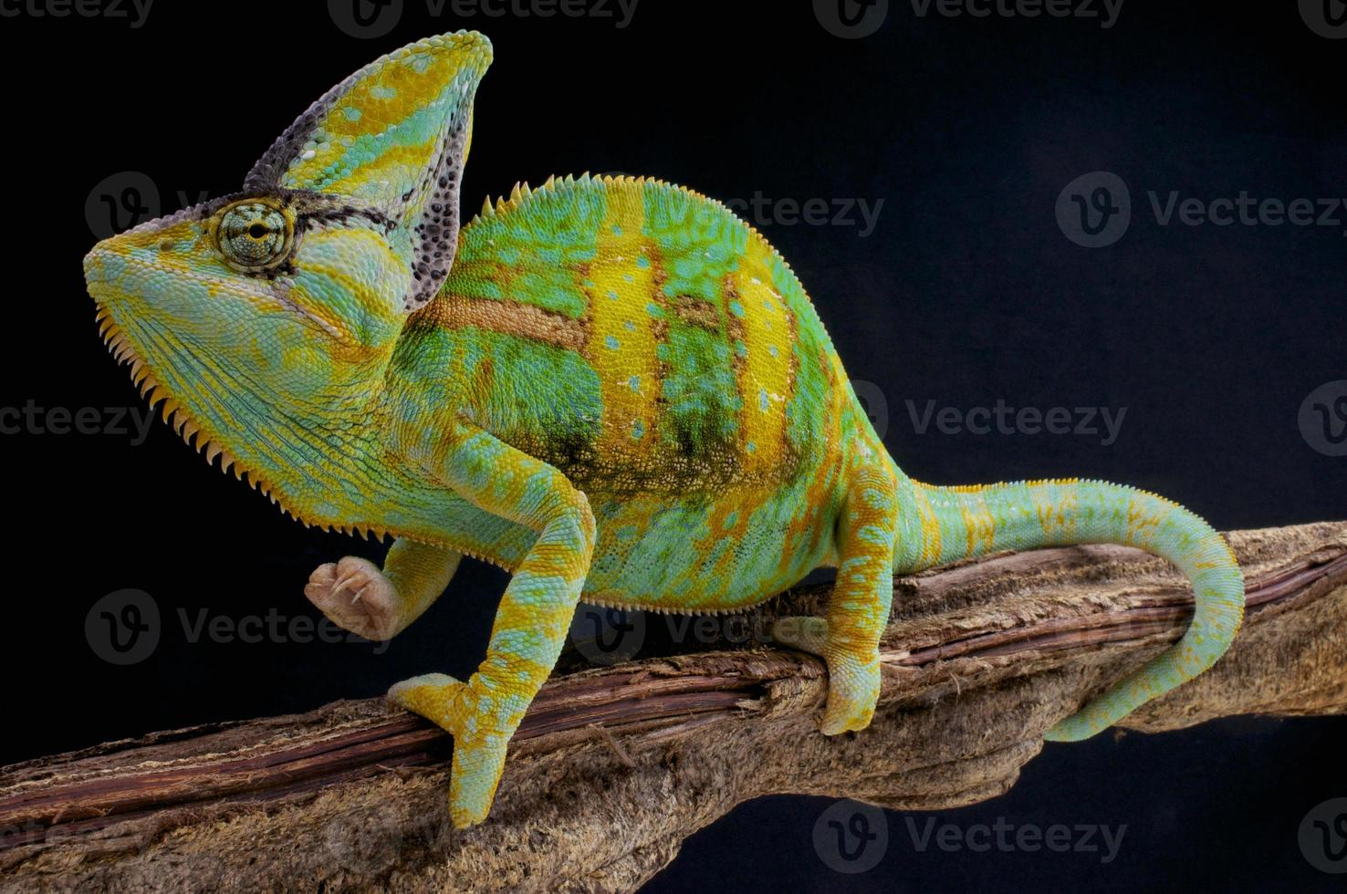camaleón velado / chamaeleo calyptratus foto