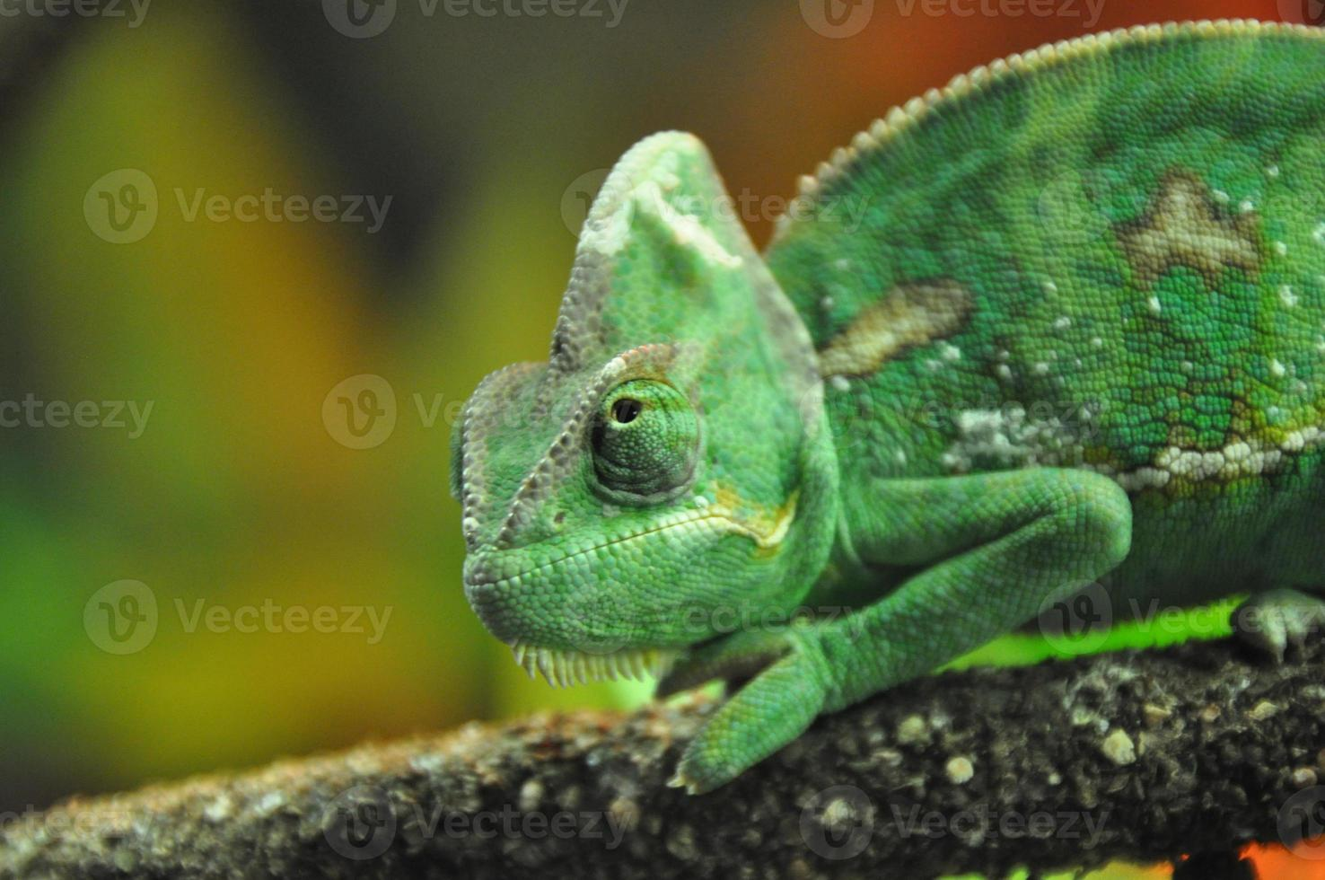 I see you seeing me (Chameleon on a branch) photo