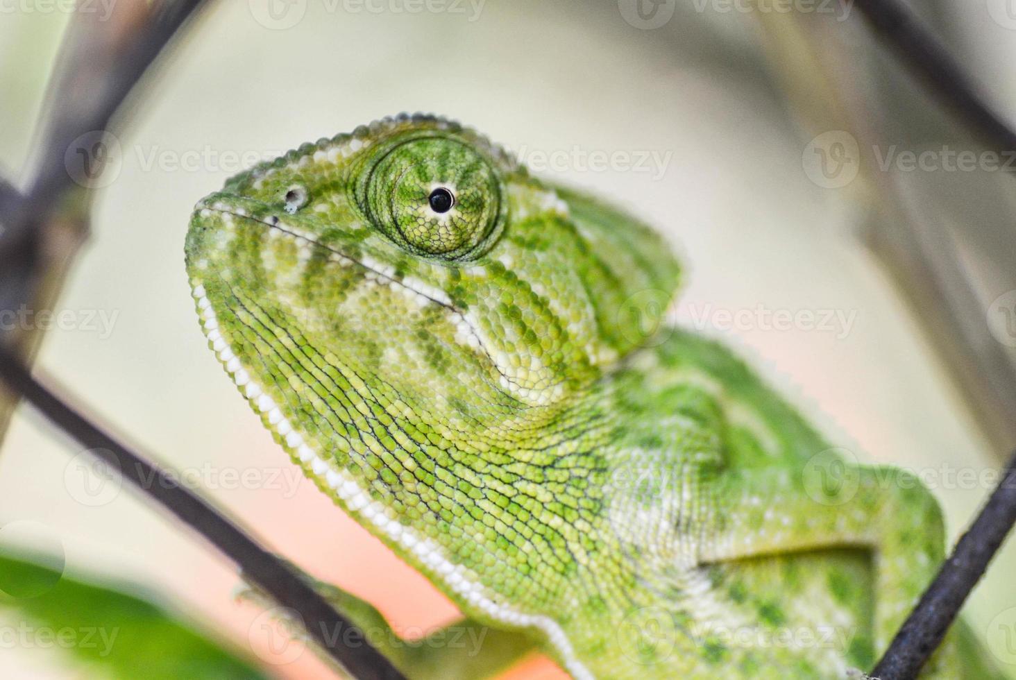 retrato de camaleón foto
