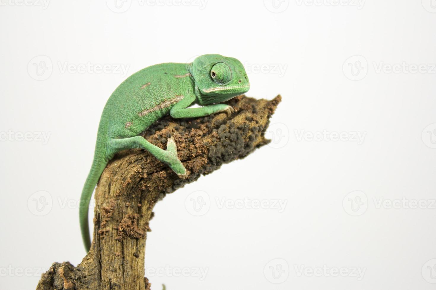 bebé camaleón foto