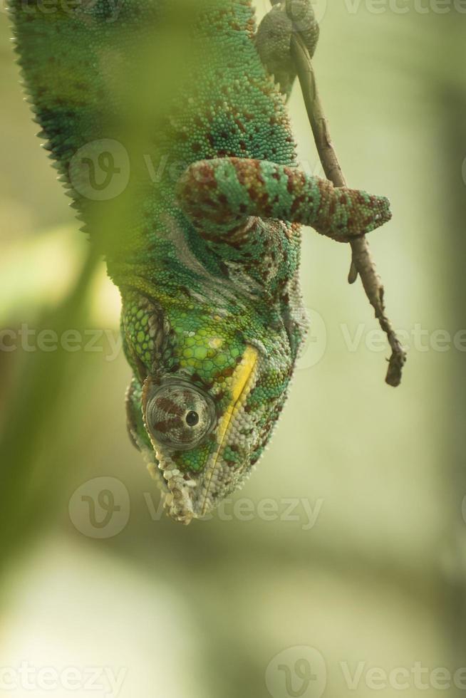 caméléon multicolore photo