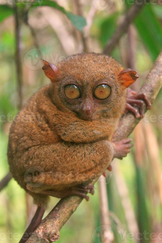 Tarsier sitting on a tree, Bohol island, Philippines photo
