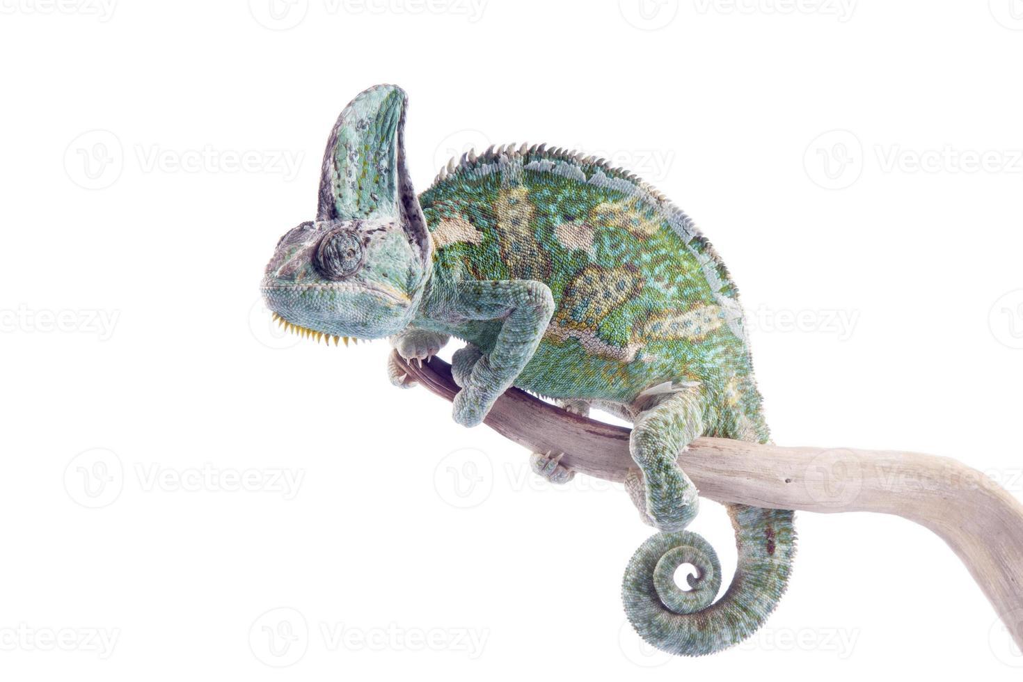 chamaeleo calyptratus - camaleón velado foto