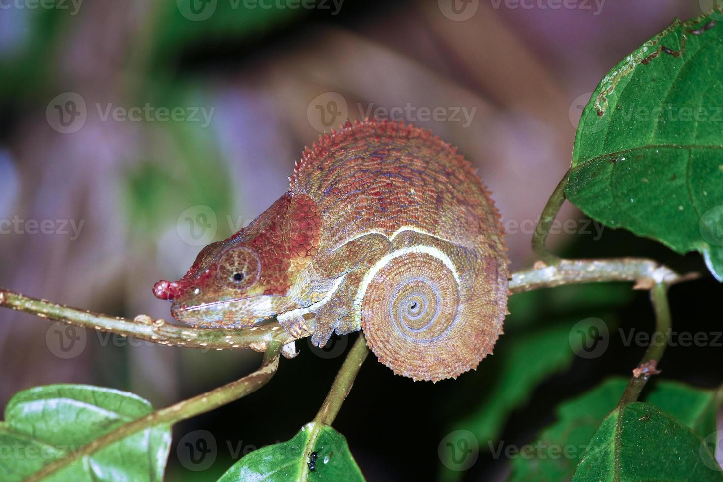 hermoso camaleón críptico o de patas azules (calumma crypticum) a foto