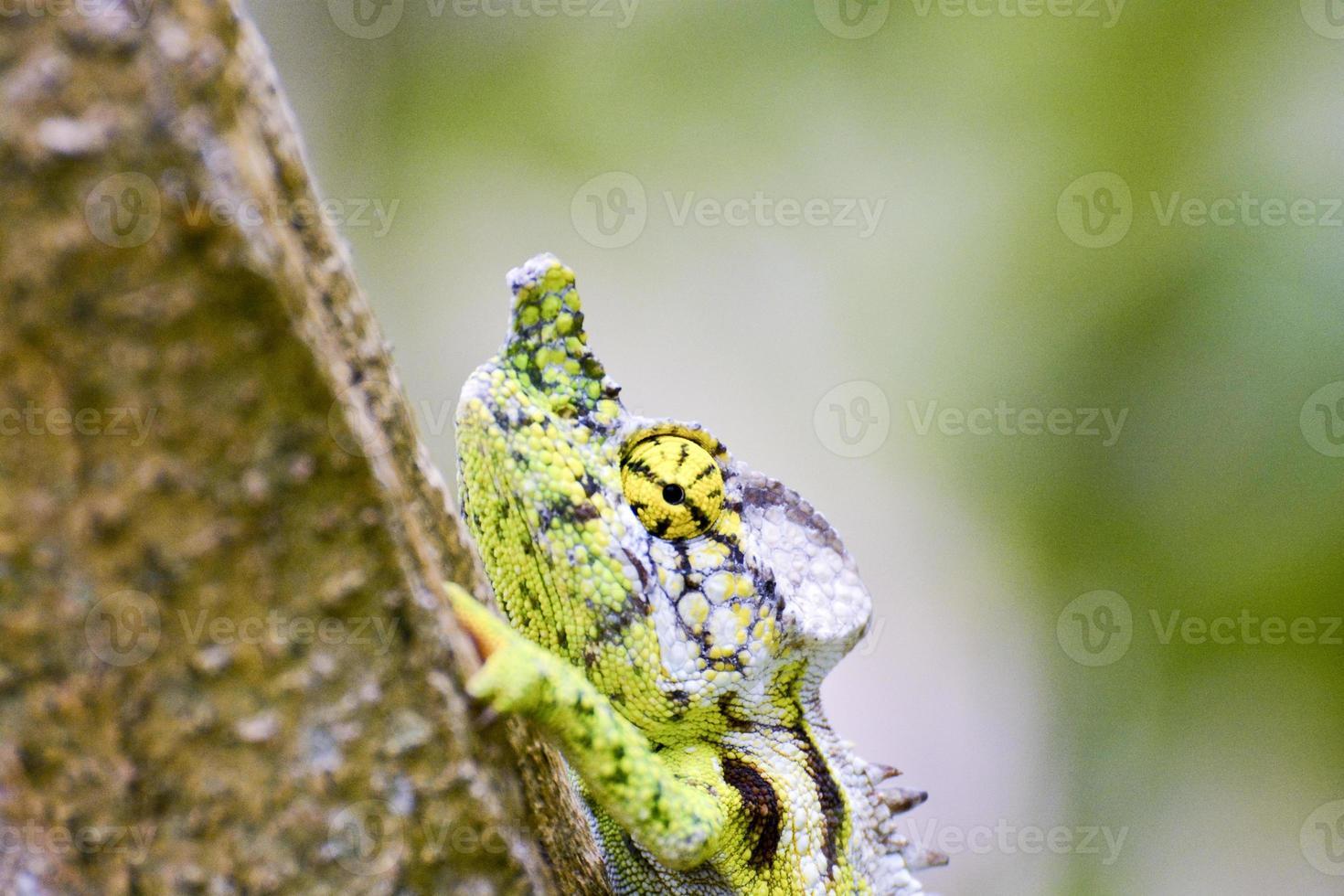 camaleón forrado de blanco (furcifer antimena) - raro madagascar ende foto