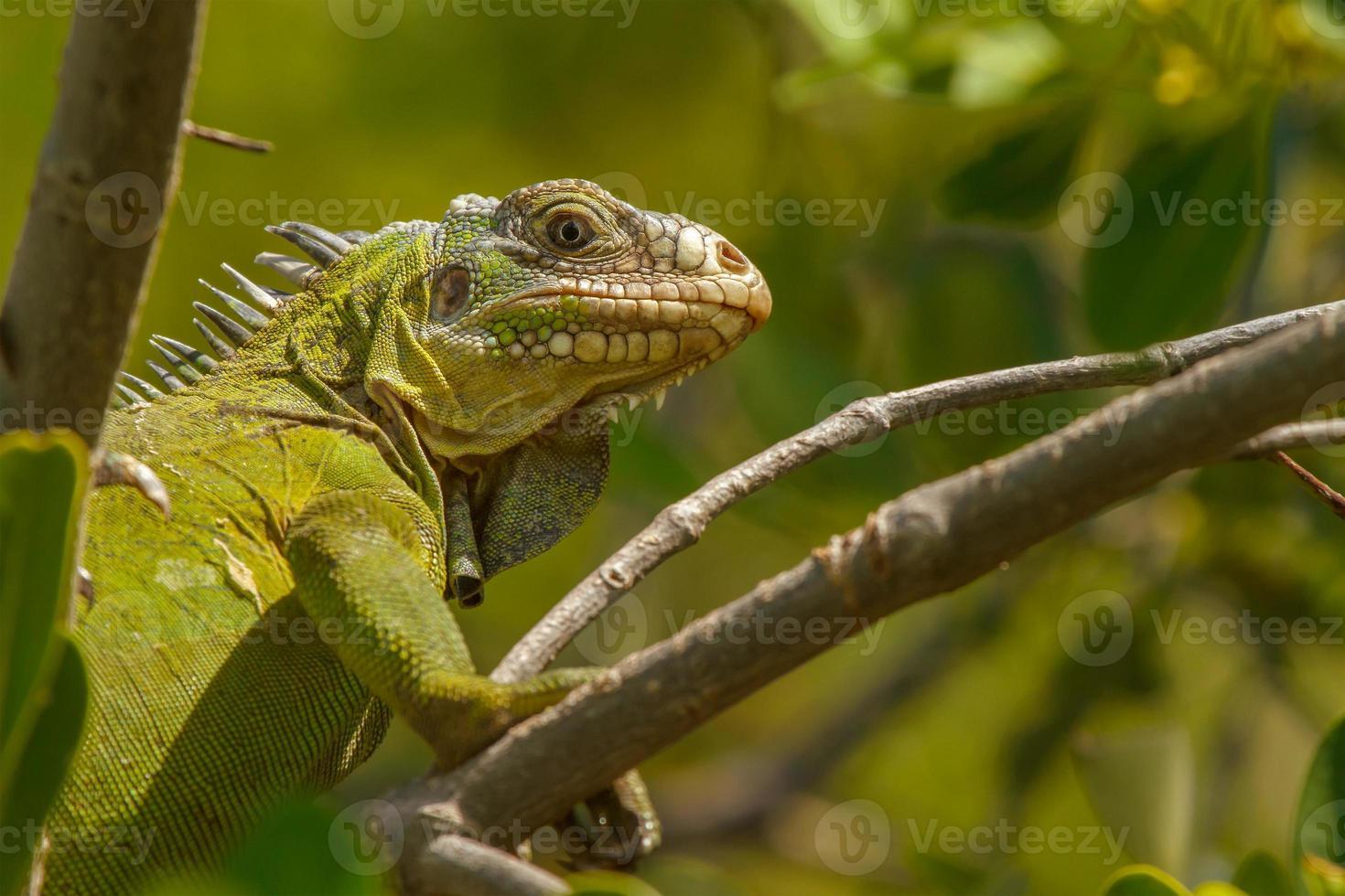 iguana antillana menor foto