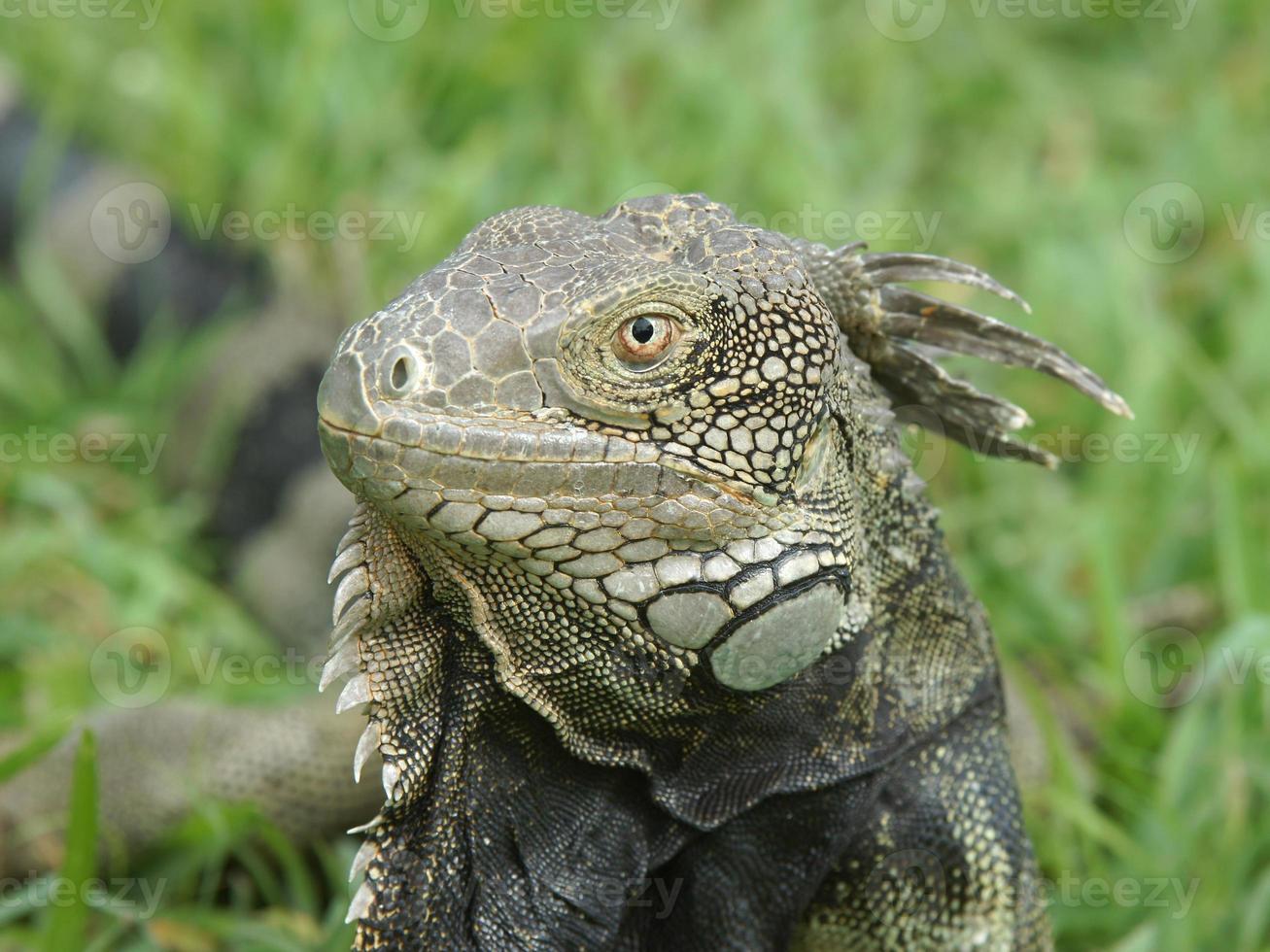 Green Iguana, Aruba, ABC Islands photo