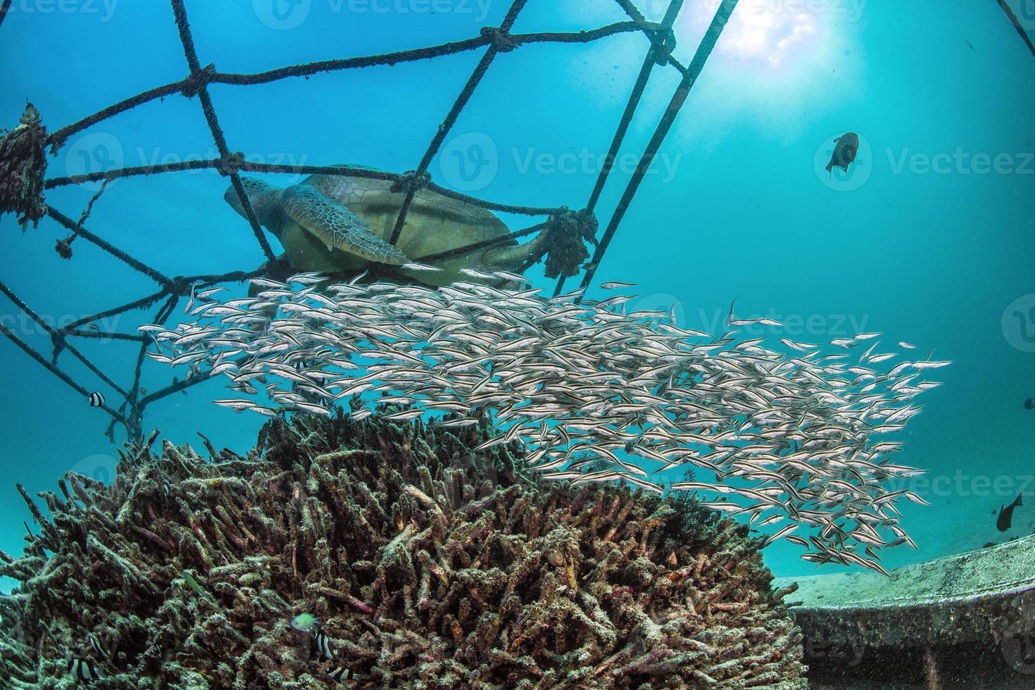 School of juvenile Striped Eel Catfish photo