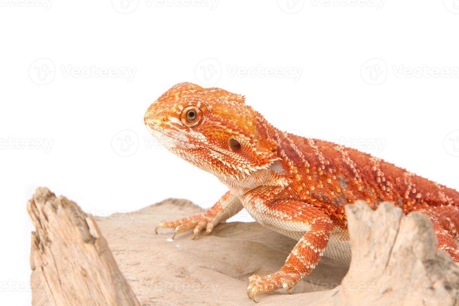 dragón barbudo en rama foto