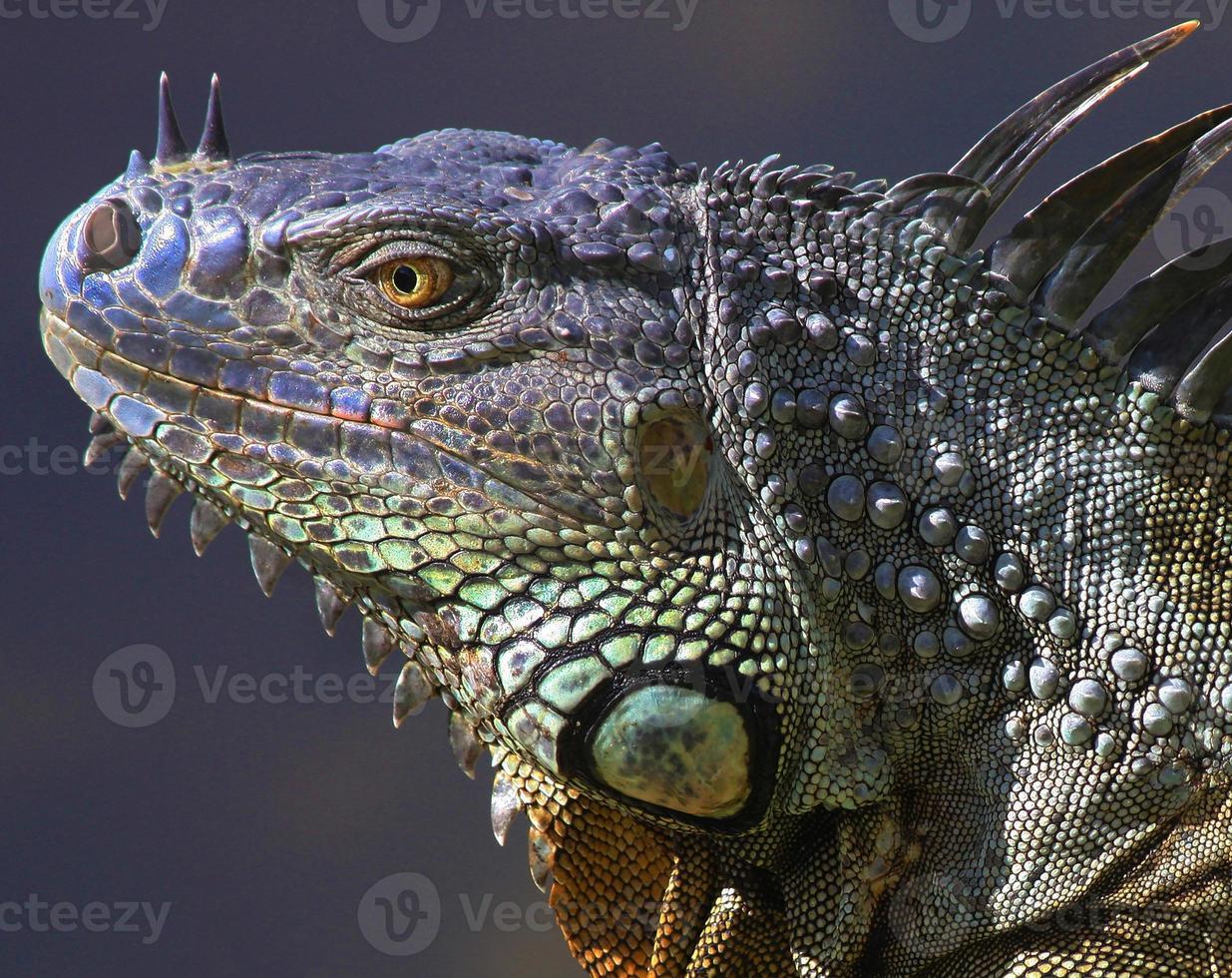 iguana verde salvaje foto
