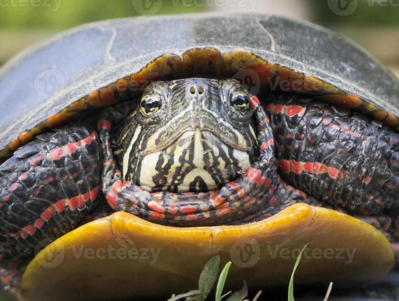 Primer plano de cara de tortuga pintada foto