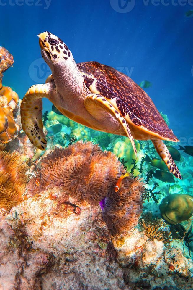 Karettschildkröte - eretmochelys imbricata foto