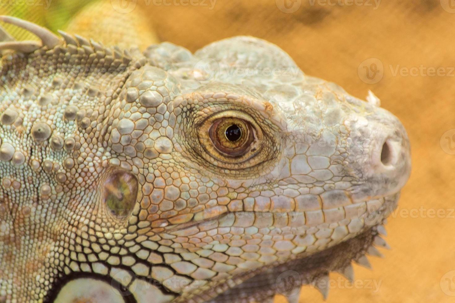 dragón barbudo pogona vitticeps foto