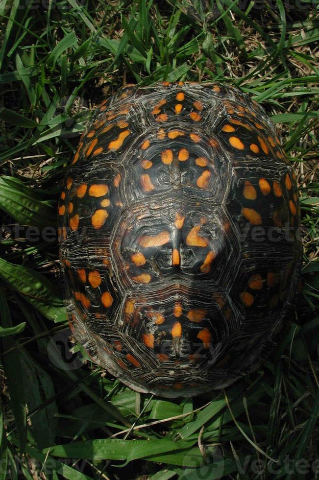 doos schildpad shell van bovenaf genomen foto
