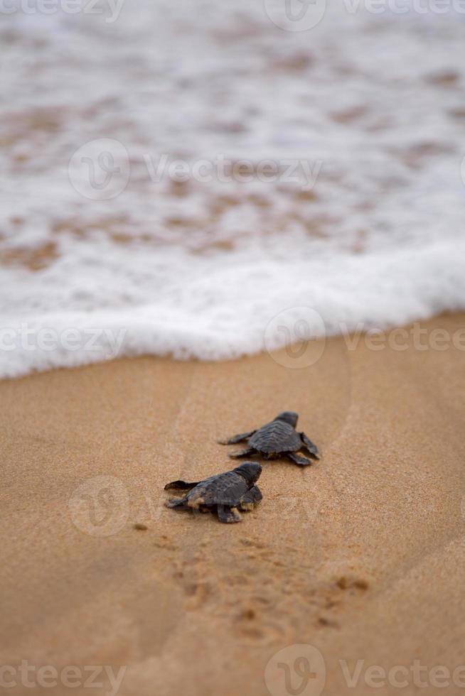 bébé tortues faisant son chemin vers l'océan photo
