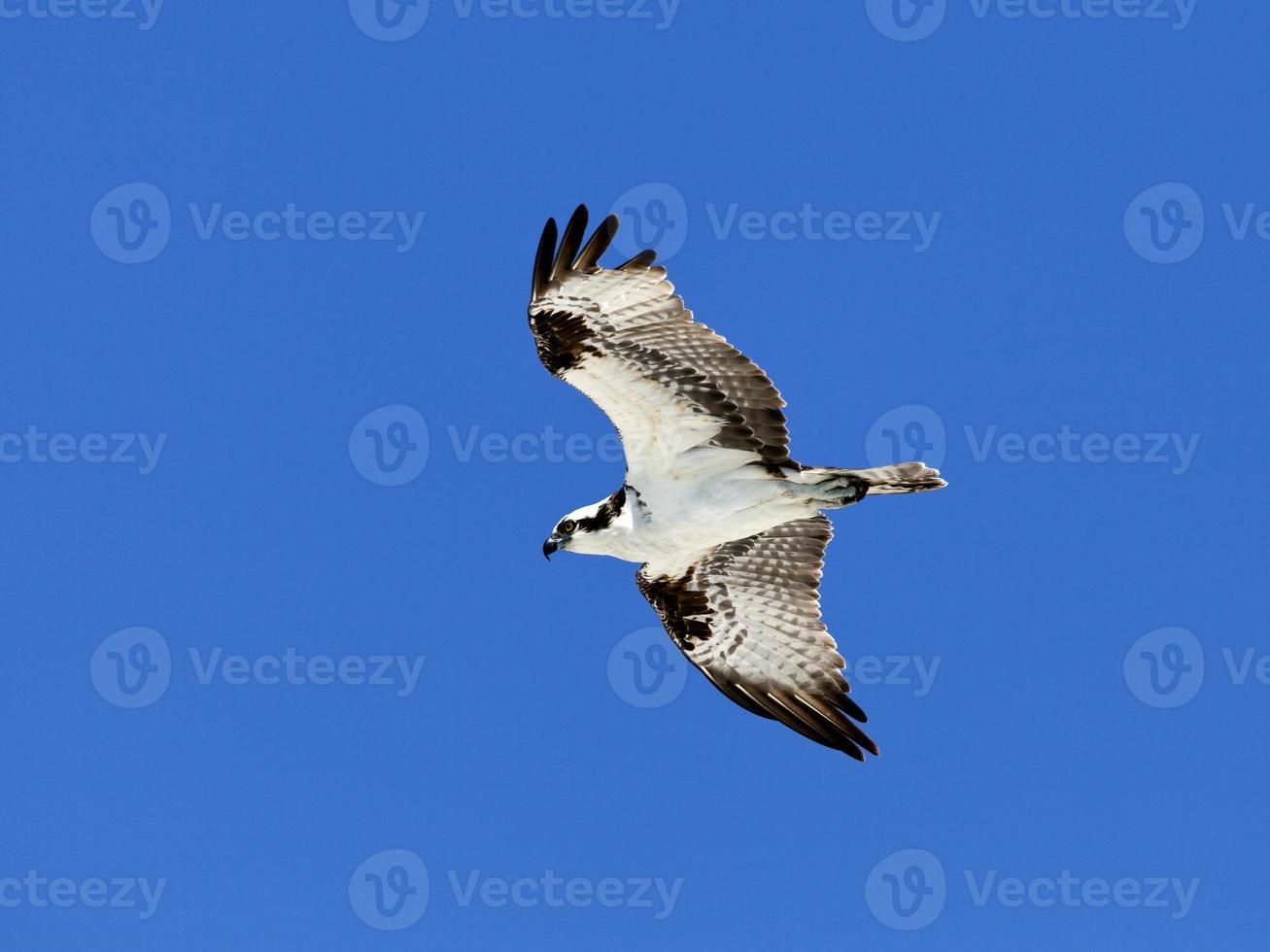 águila pescadora (halcón de mar) en vuelo contra el cielo azul foto