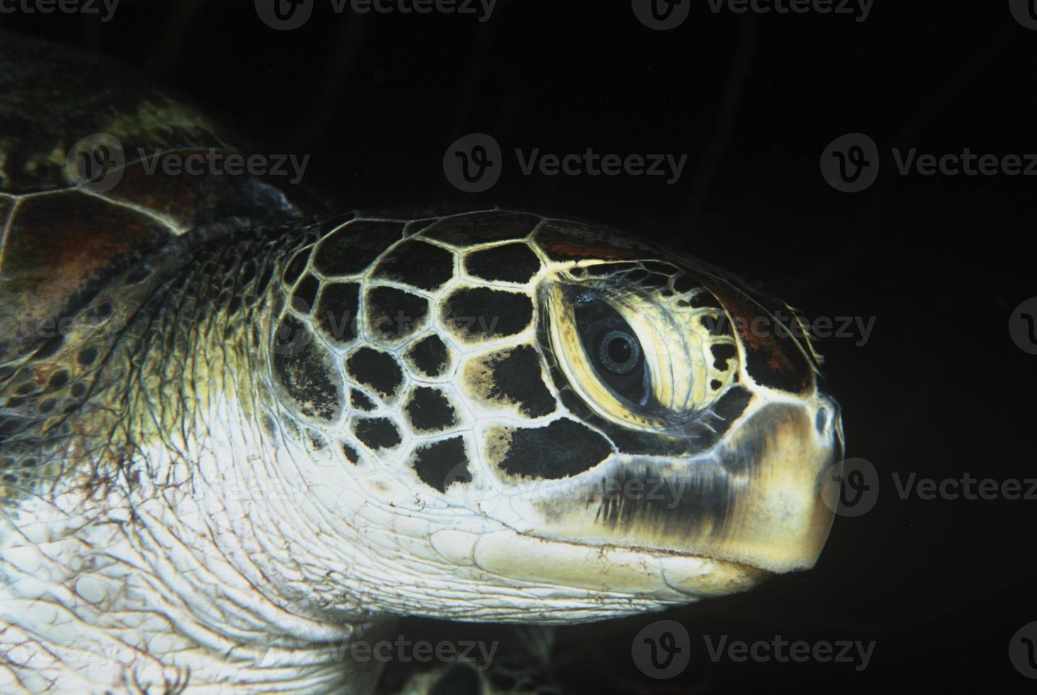 tortuga verde, primer plano de la cabeza foto