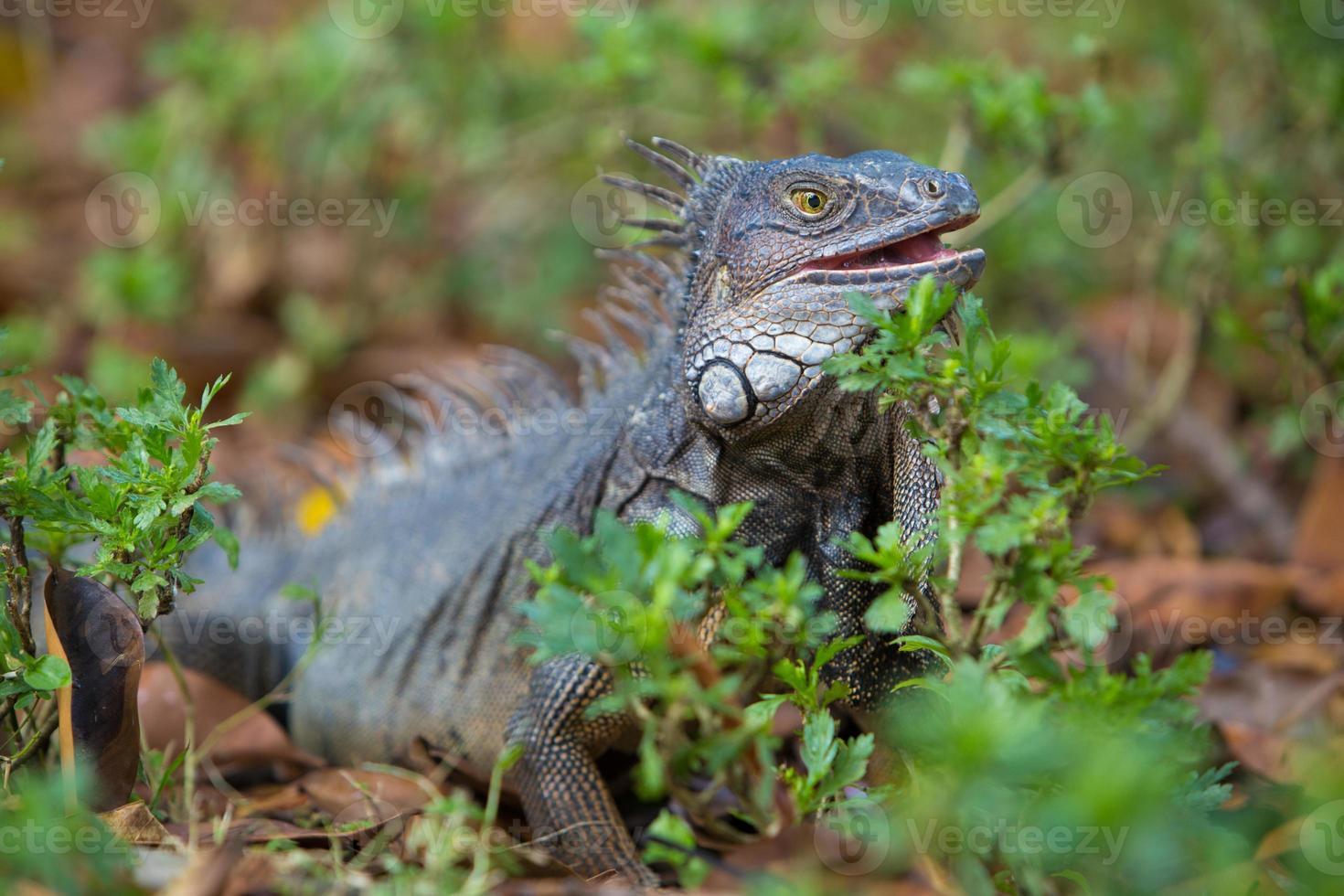 iguana, colombia foto