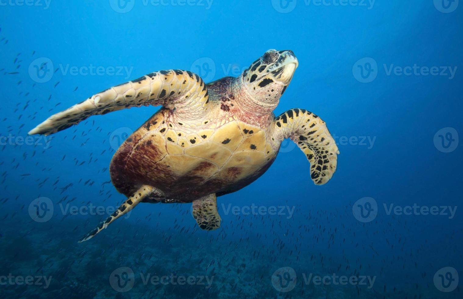 HAWKBILL SEA TURTLE photo