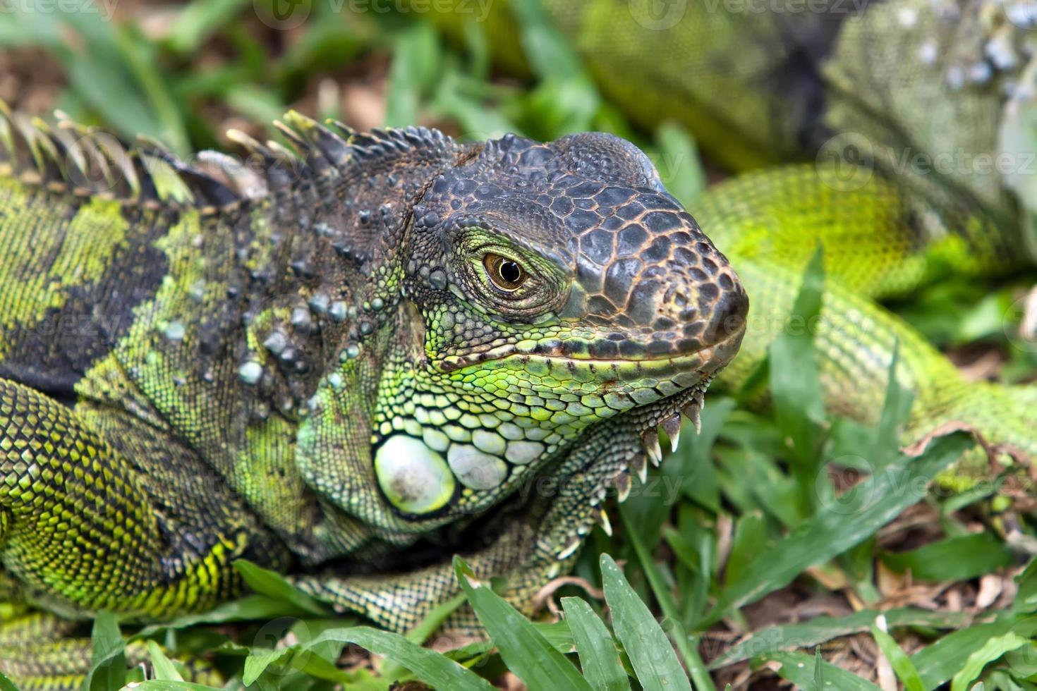 gran iguana foto
