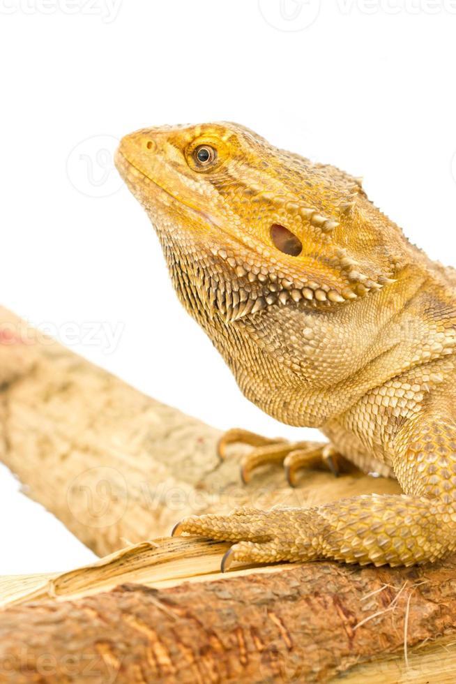 Cerca del dragón barbudo aislado en blanco. foto