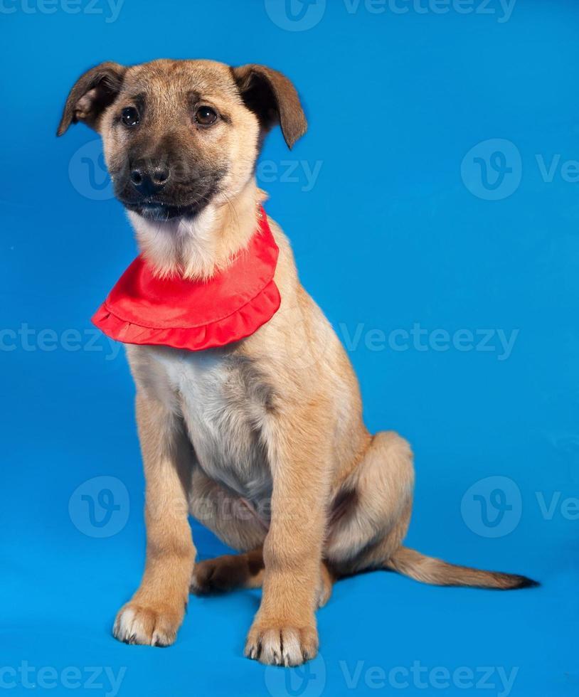 delgado cachorro amarillo en pañuelo rojo sentado en azul foto
