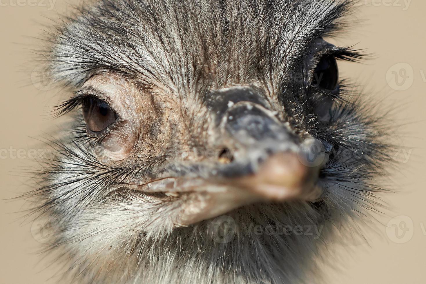 avestruz común (struthio camelus) foto