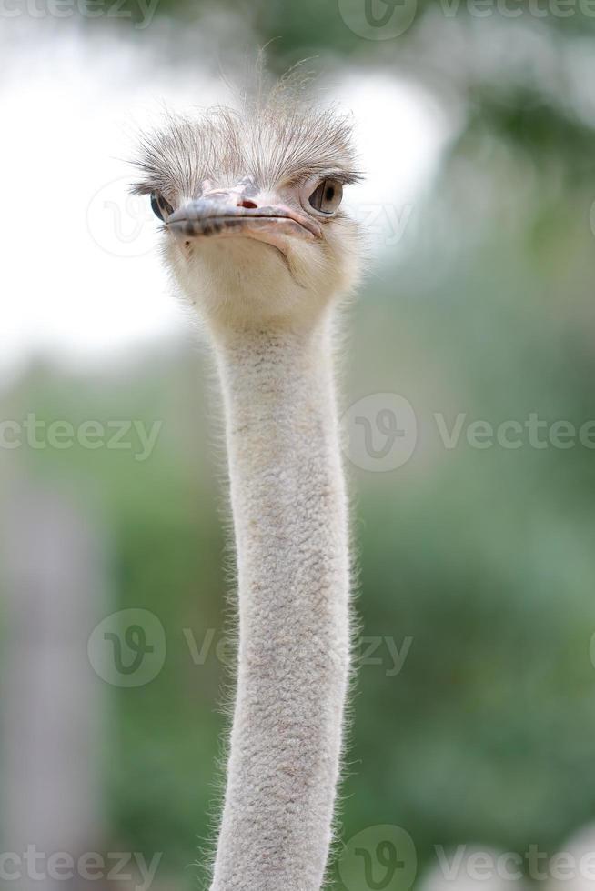 Ostrich head close up vertical photo