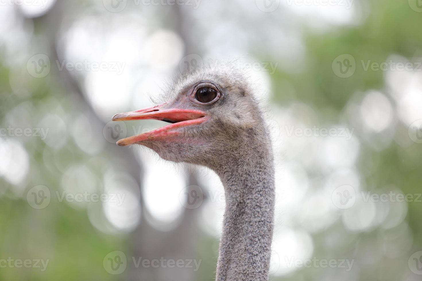 cerca de la cabeza de avestruz foto
