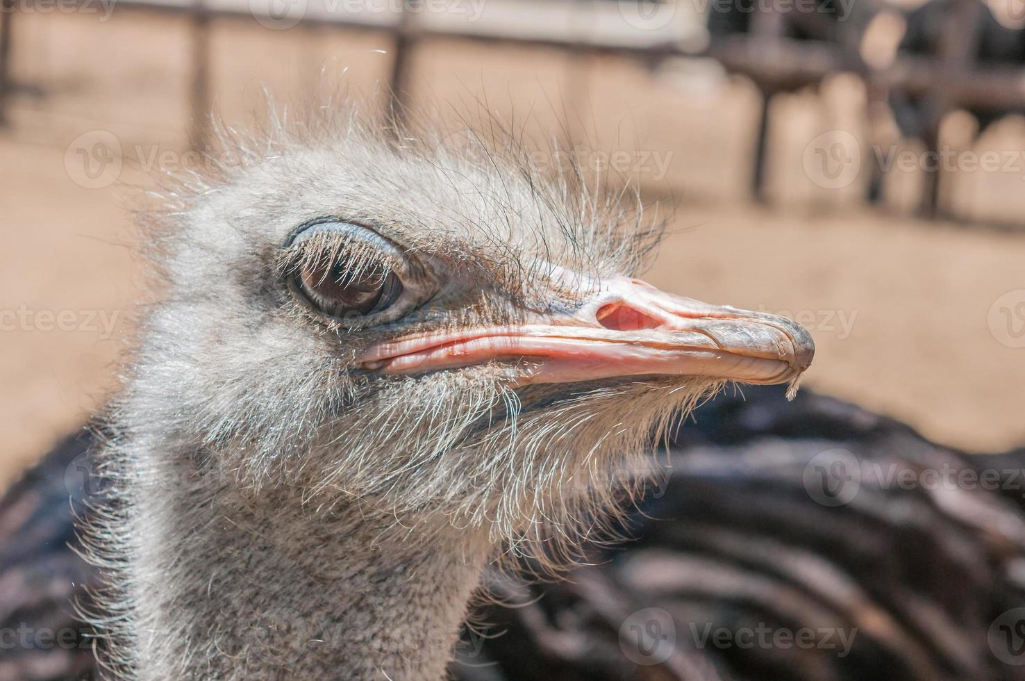 cara de avestruz foto