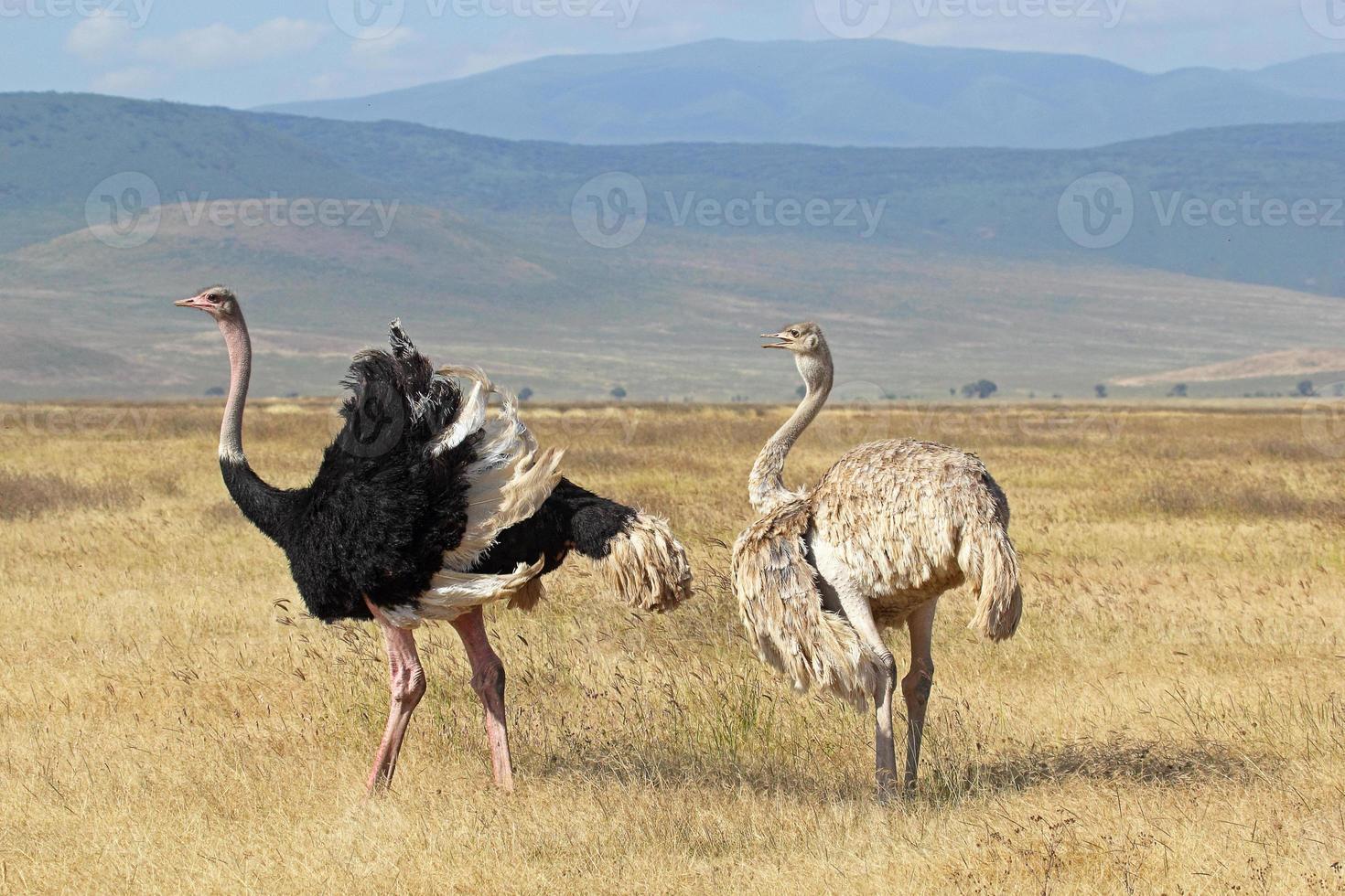 pareja de crías de avestruces foto