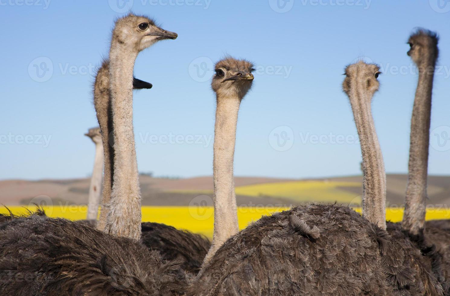 bandada de avestruces de cerca foto