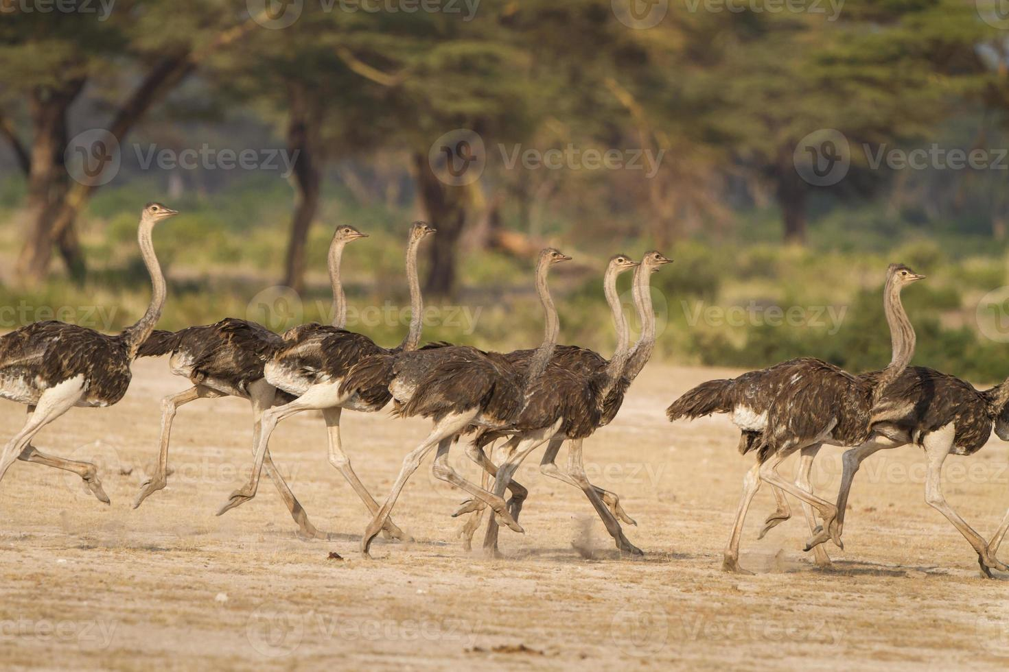 Ostrich flock run together fleeing a predator in Tanzania, Africa photo