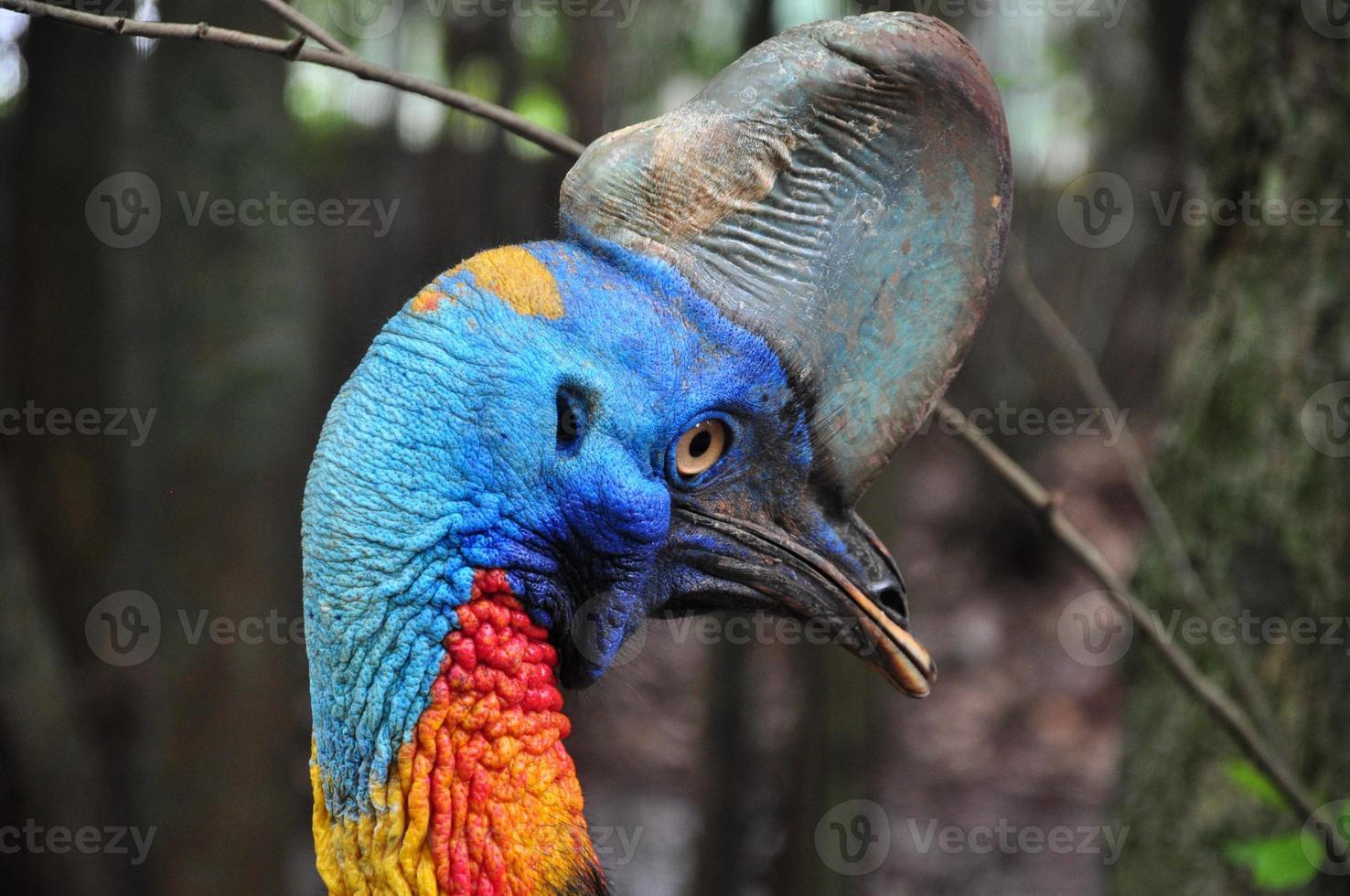 pájaro casuario foto