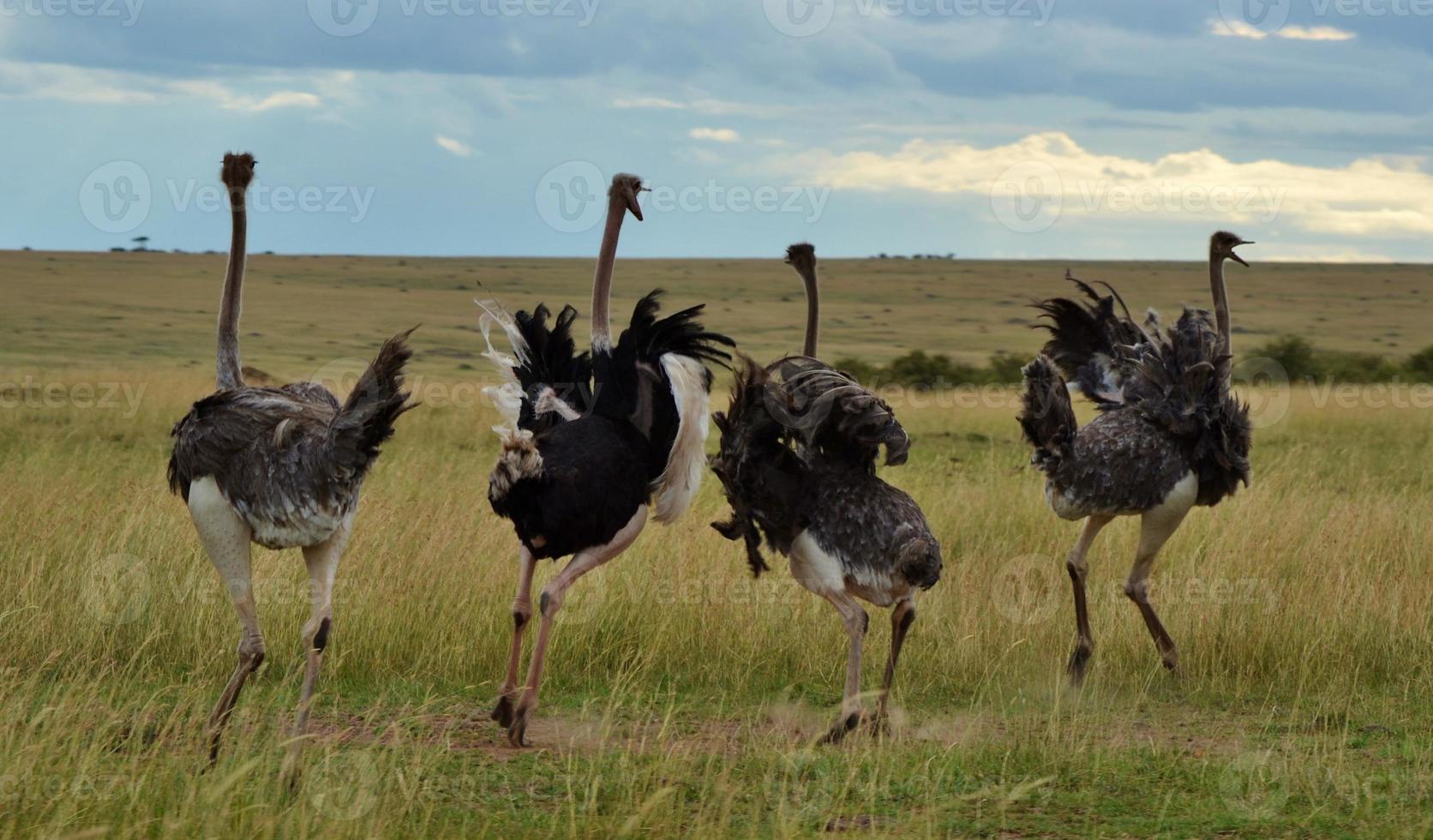 avestruces en kenia foto