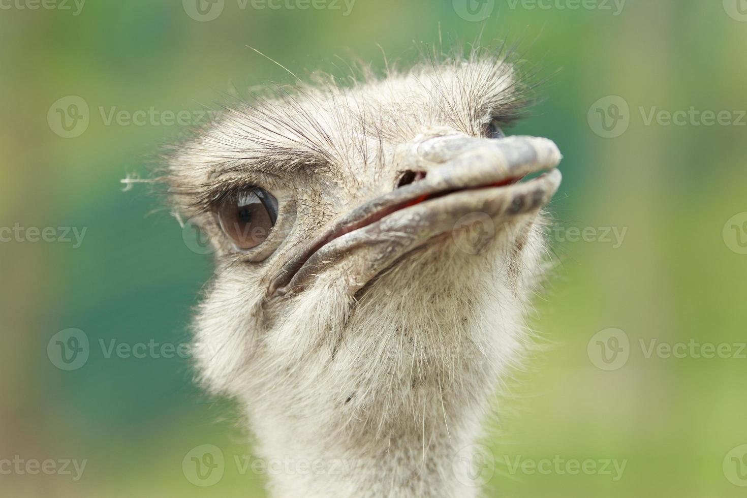 primer plano de avestruz foto