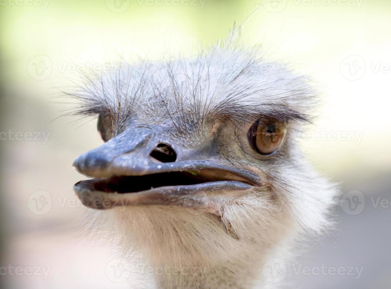 Cabeza de avestruz de cerca. foto