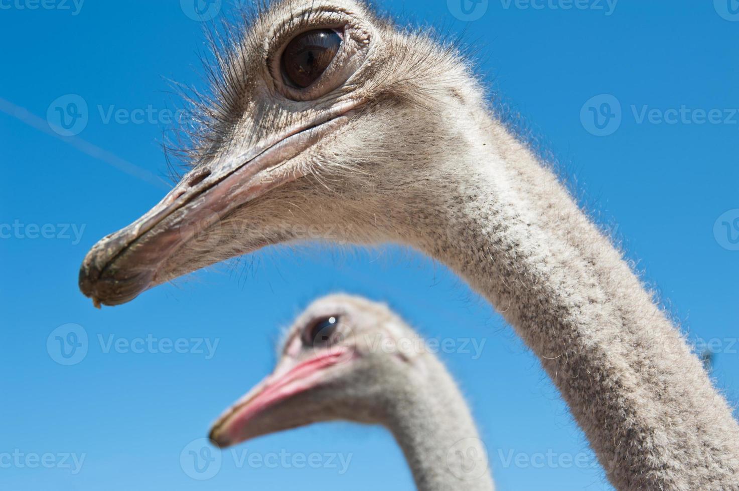 avestruz foto