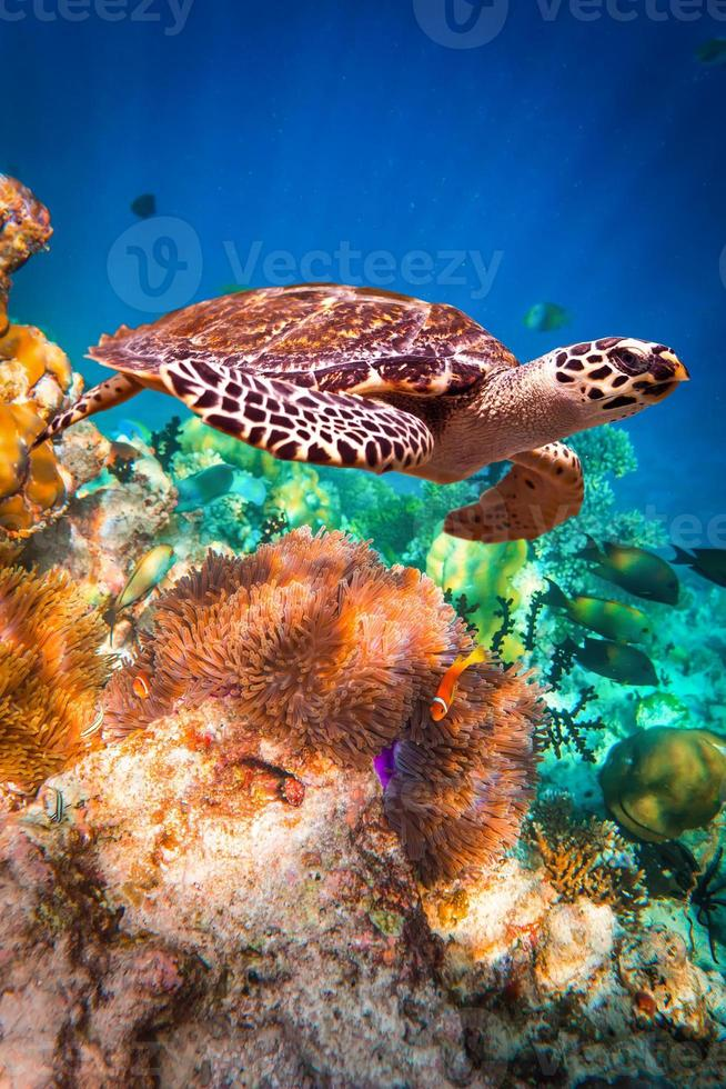 Underwater photo of Hawksbill Turtle