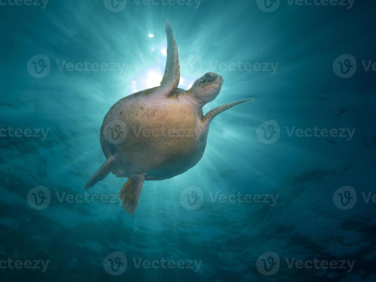 Sea turtle in the ocean photo