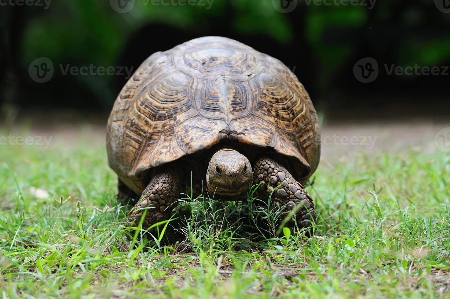 tortuga africana en pasto foto