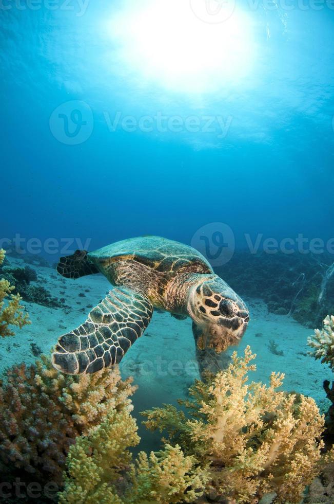 alimentación de tortugas marinas foto