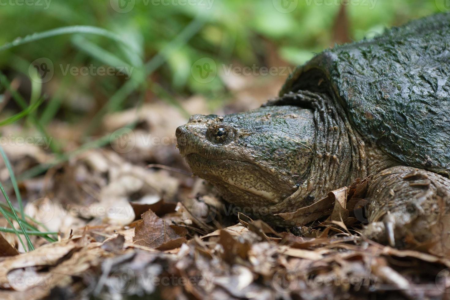 tortuga mordedora común foto