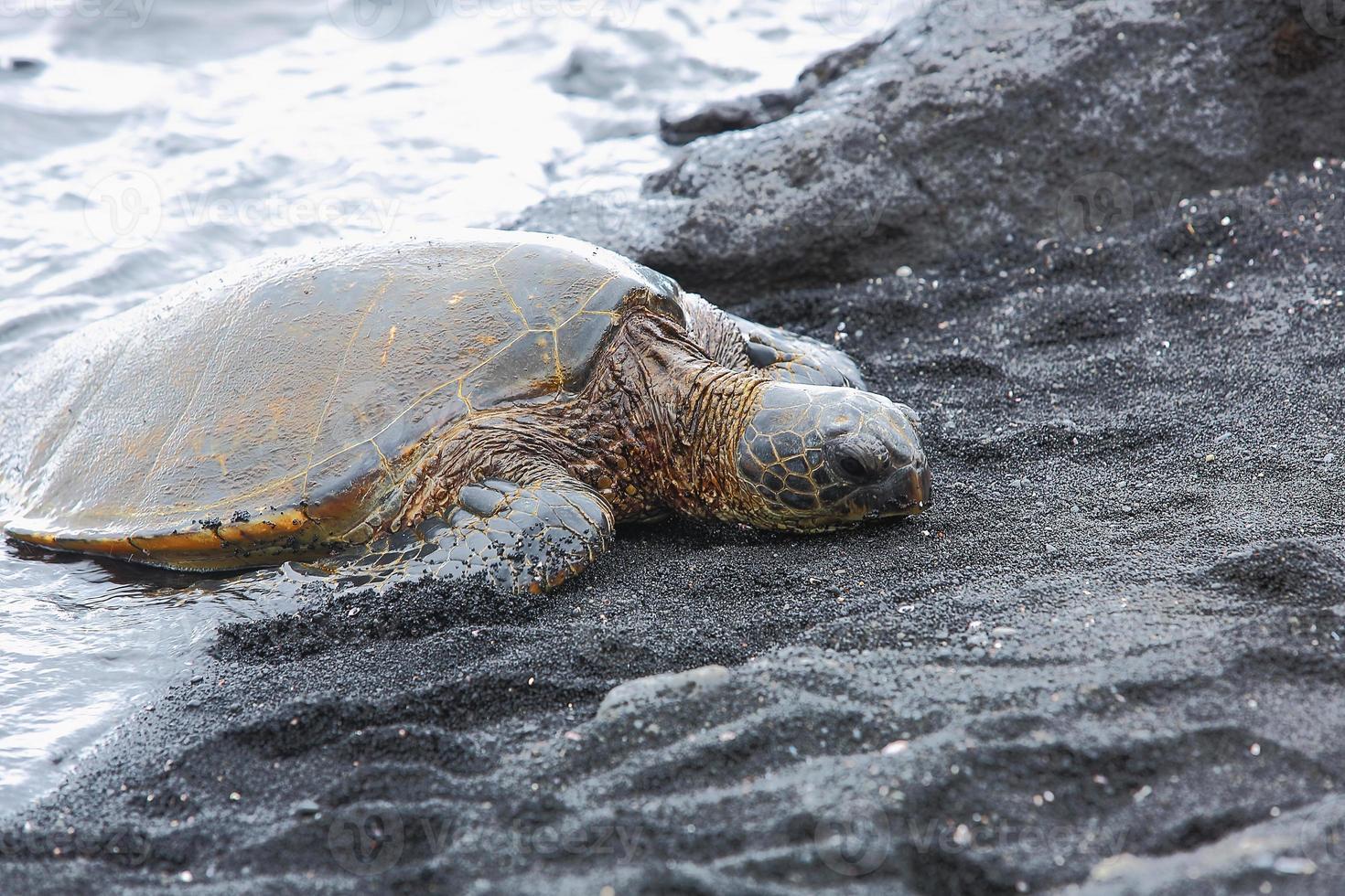 hermosa tortuga verde en peligro de extinción foto