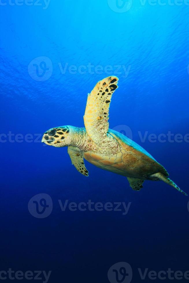 zeeschildpad foto