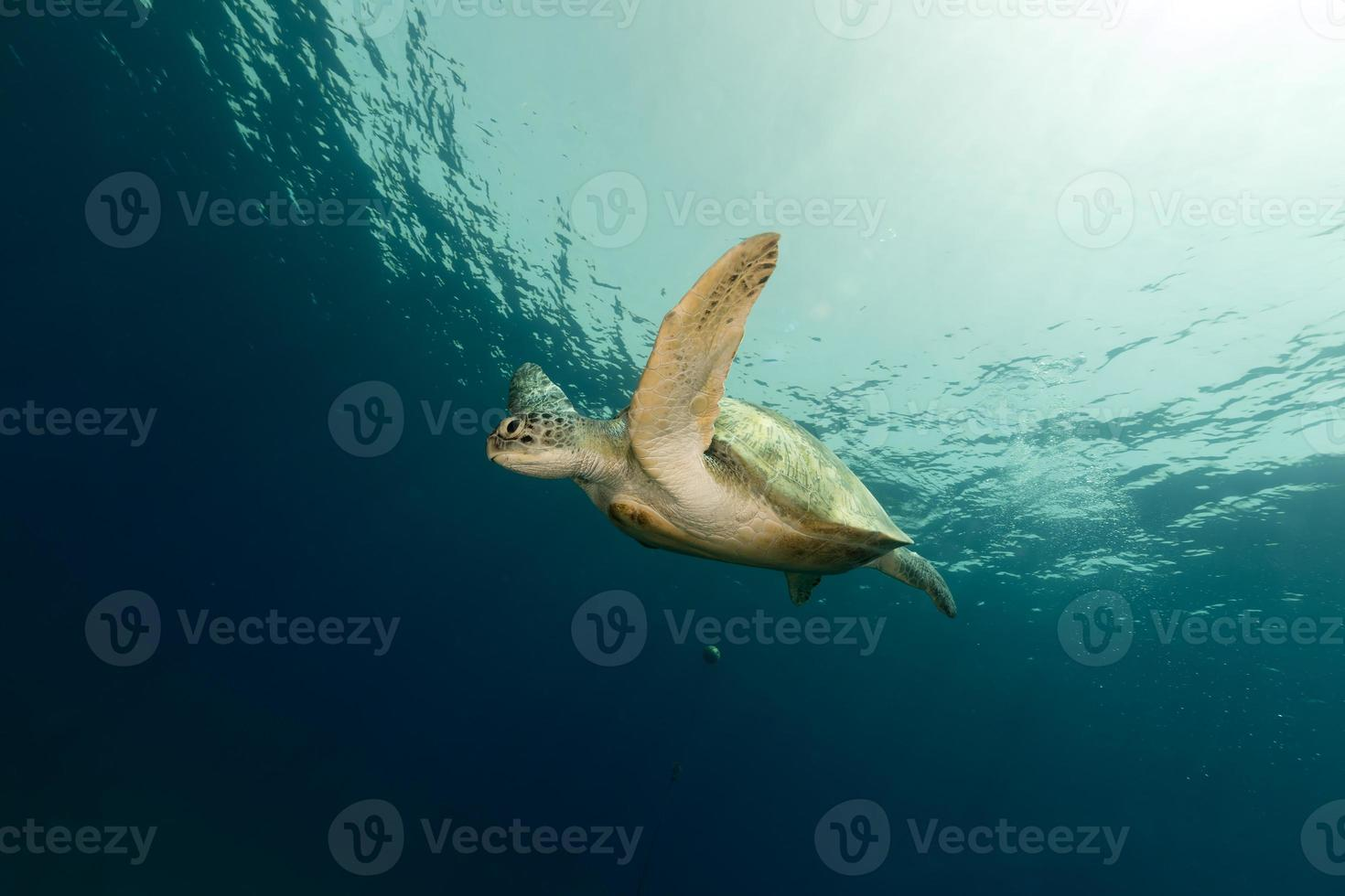 hembra tortuga verde en el mar rojo. foto