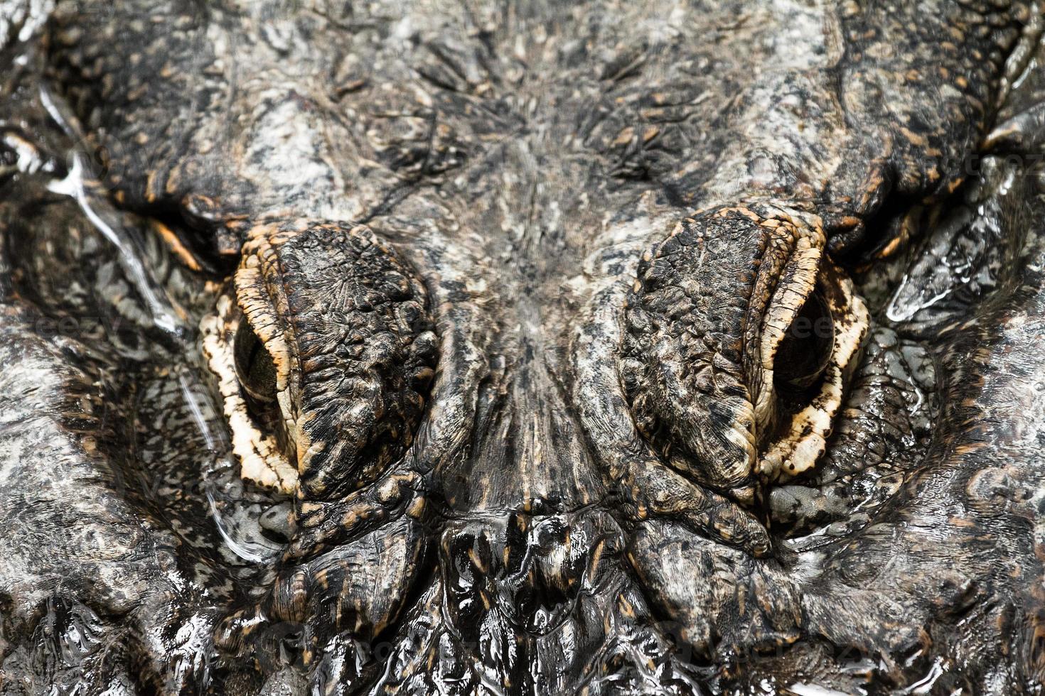 ojos de cocodrilo foto