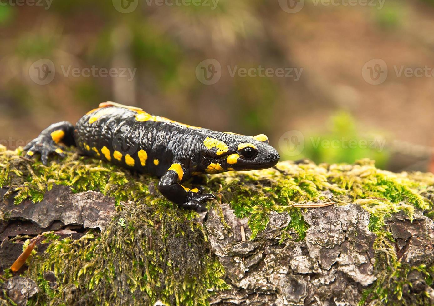 salamandra foto