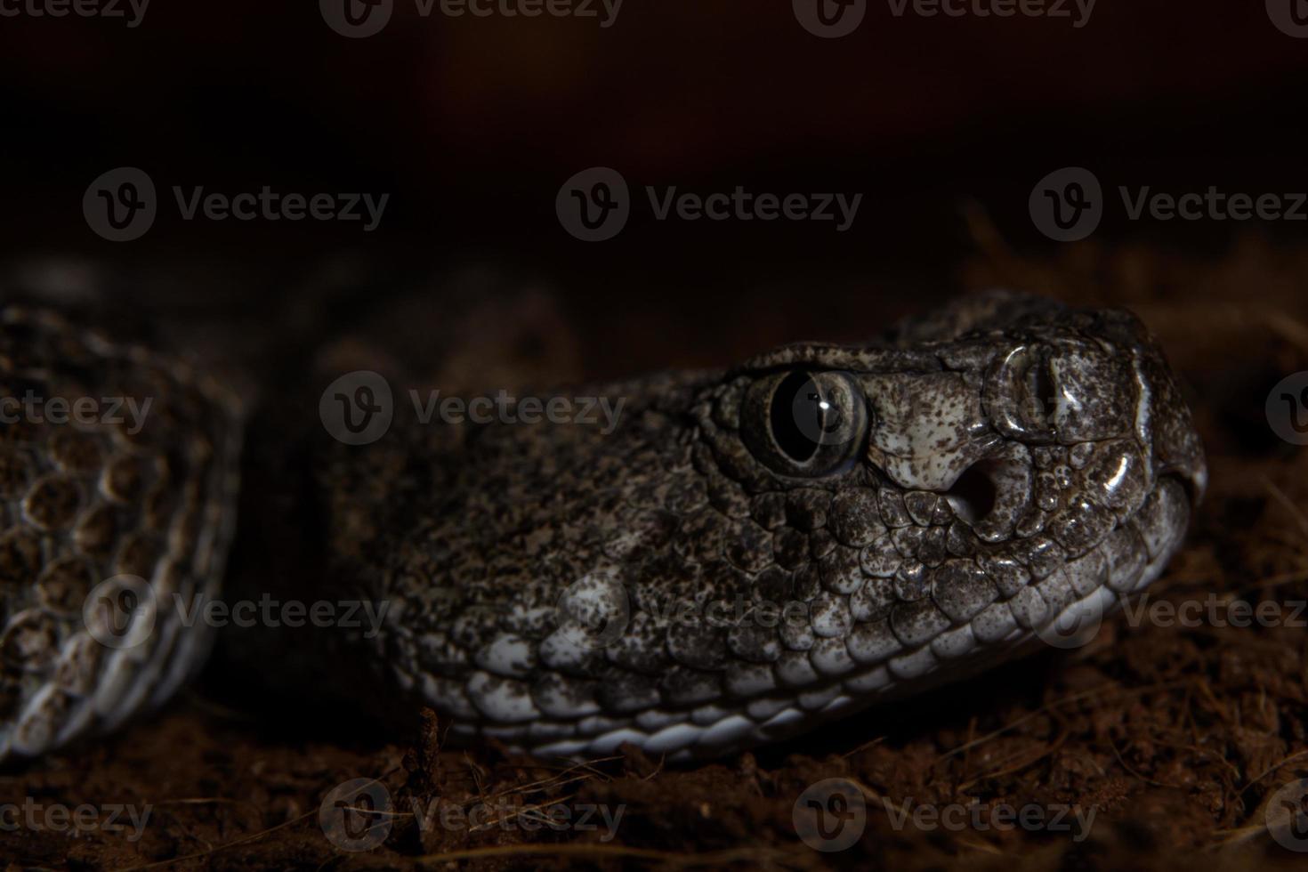 serpiente de cascabel de texas de cerca listo para atacar desde la oscuridad foto